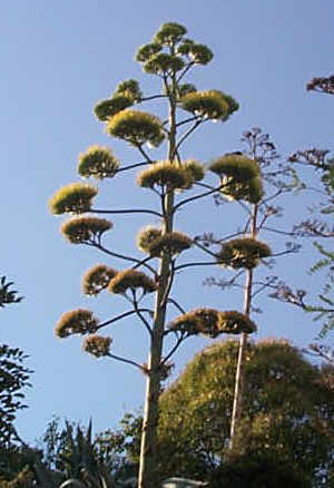 Plantes du mexique - Agave du mexique ...