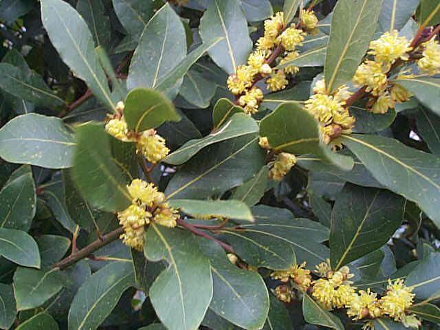 laurus nobilis... L Is For Leaf