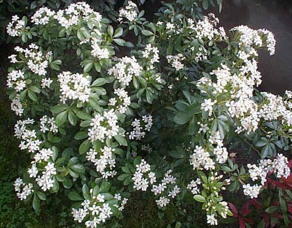 plante verte fleurs blanches odorantes. Black Bedroom Furniture Sets. Home Design Ideas